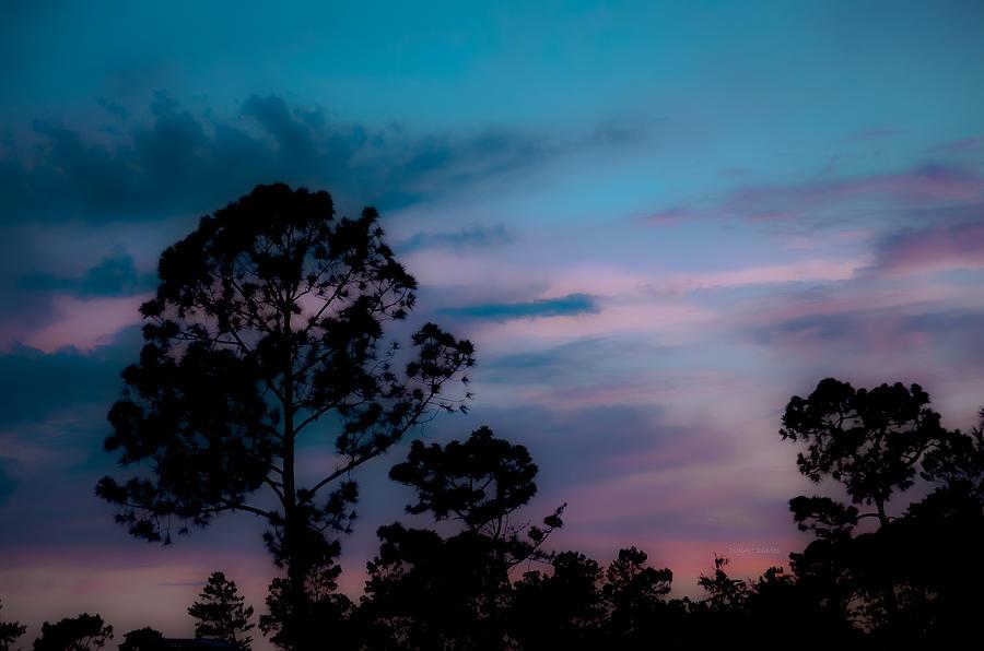 Loblelly Pine Silhouette Photograph