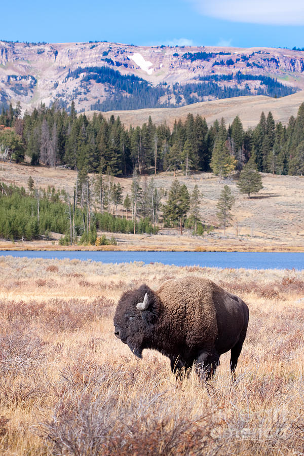 Lone Buffalo Digital Art  - Lone Buffalo Fine Art Print