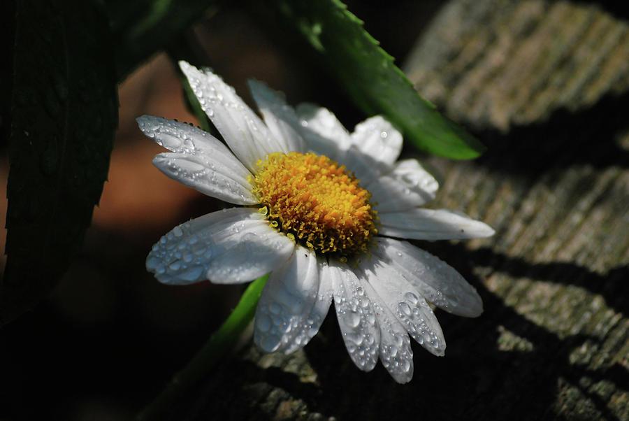 Lone Daisy Photograph