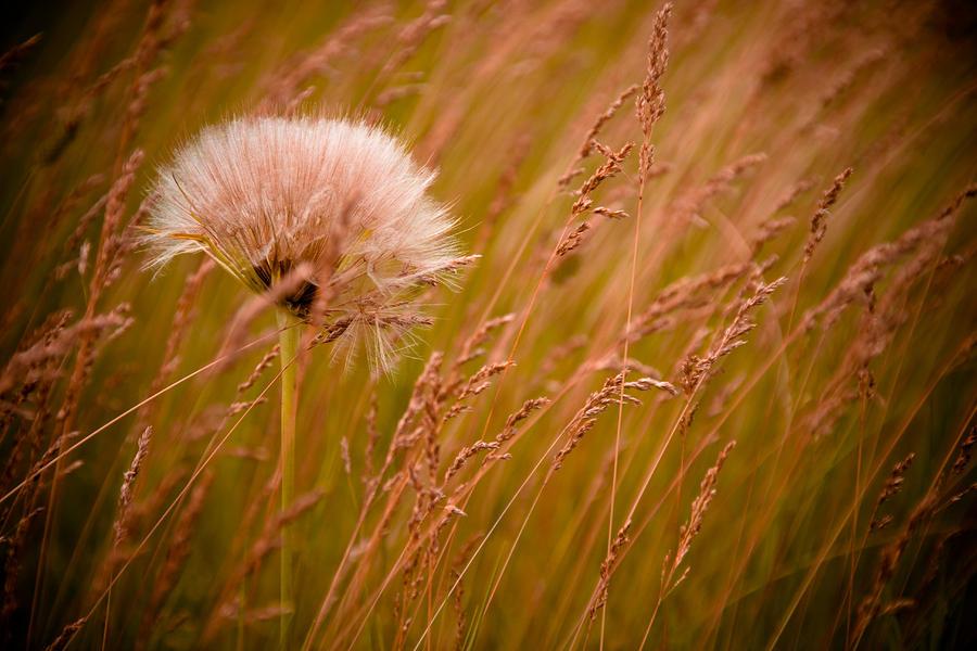 Lone Dandelion Photograph
