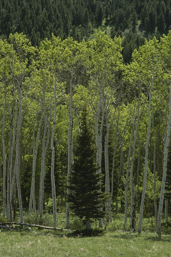 Lone Evergreen Amongst Aspen Trees Photograph