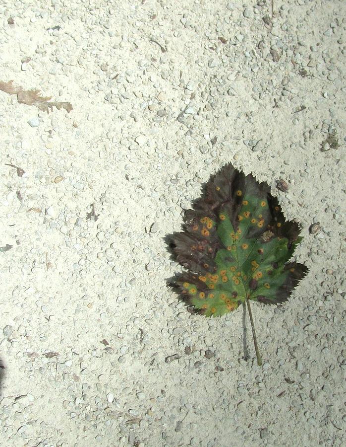 Lone Leaf Photograph - Lone Leaf by Todd Sherlock