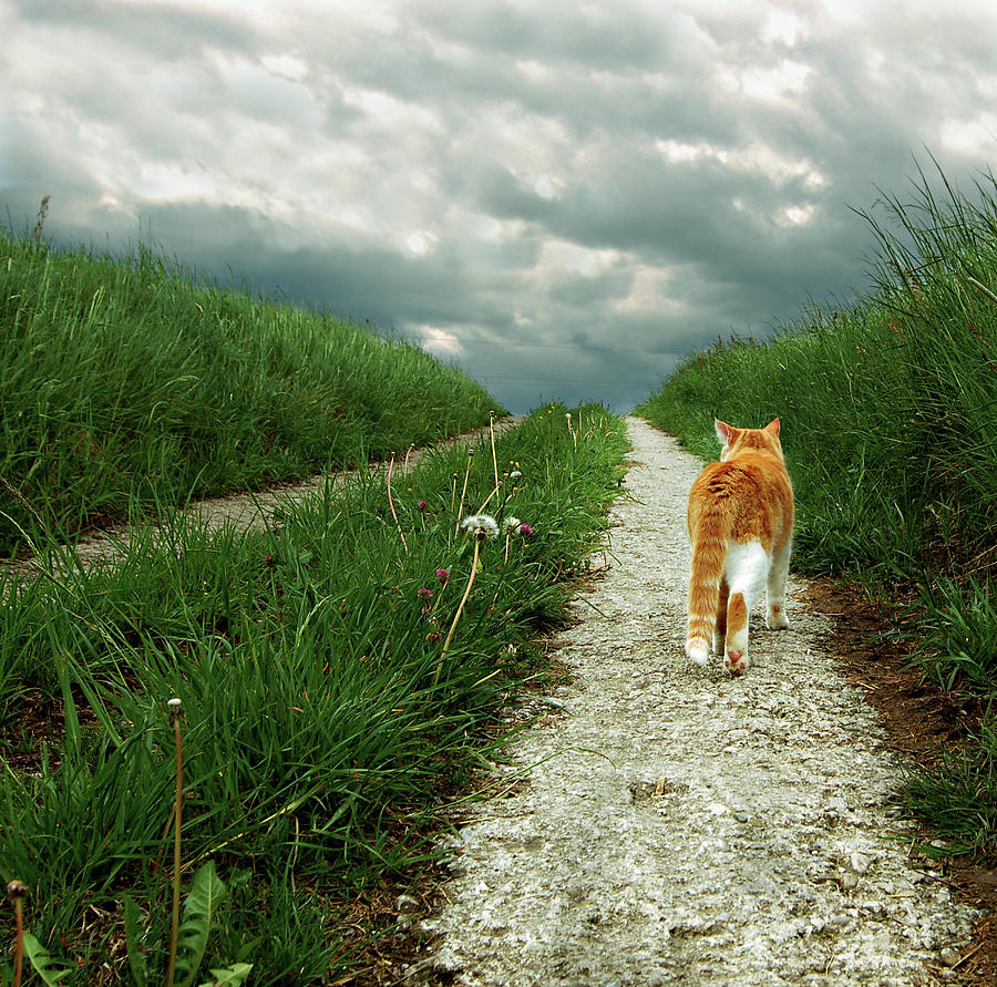 Lone Red And White Cat Walking Along Grassy Path Photograph  - Lone Red And White Cat Walking Along Grassy Path Fine Art Print