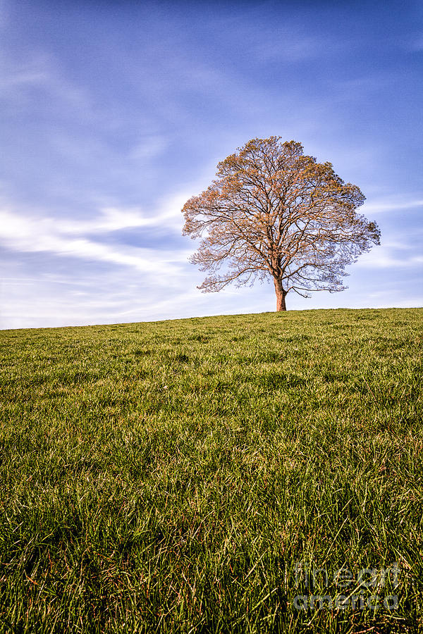 Lone Tree On The Hill Colour Photograph  - Lone Tree On The Hill Colour Fine Art Print