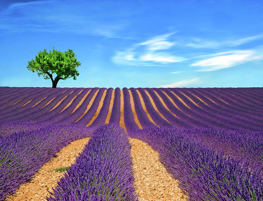 Lonely Tree On Lavender Field Photograph