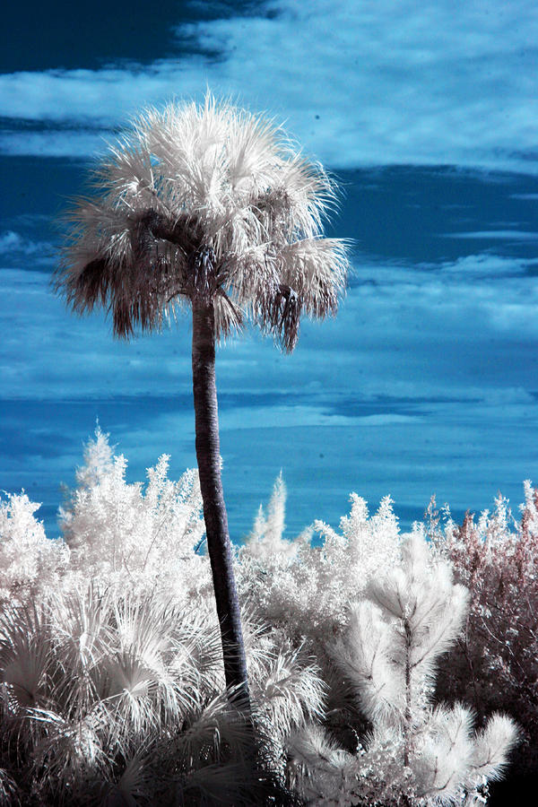 Lonesome Palm Photograph  - Lonesome Palm Fine Art Print