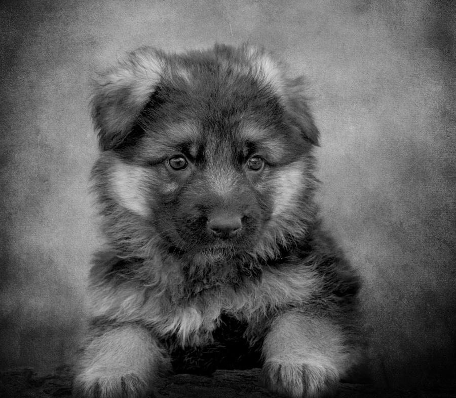 Long Coated Puppy II Photograph  - Long Coated Puppy II Fine Art Print