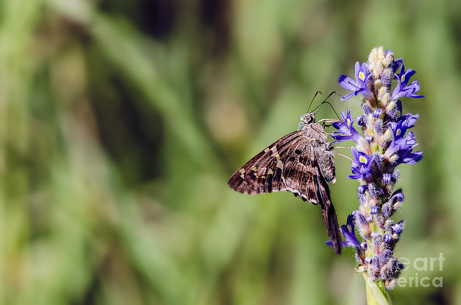 Long-tailed Skipper Butterfly Photograph