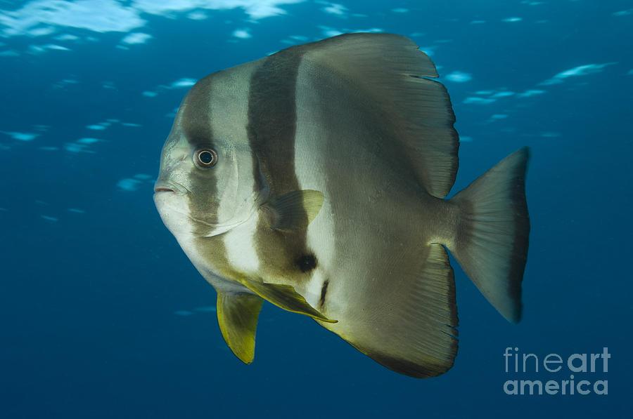 Ephippidae Photograph - Longfin Spadefish, Papua New Guinea by Steve Jones
