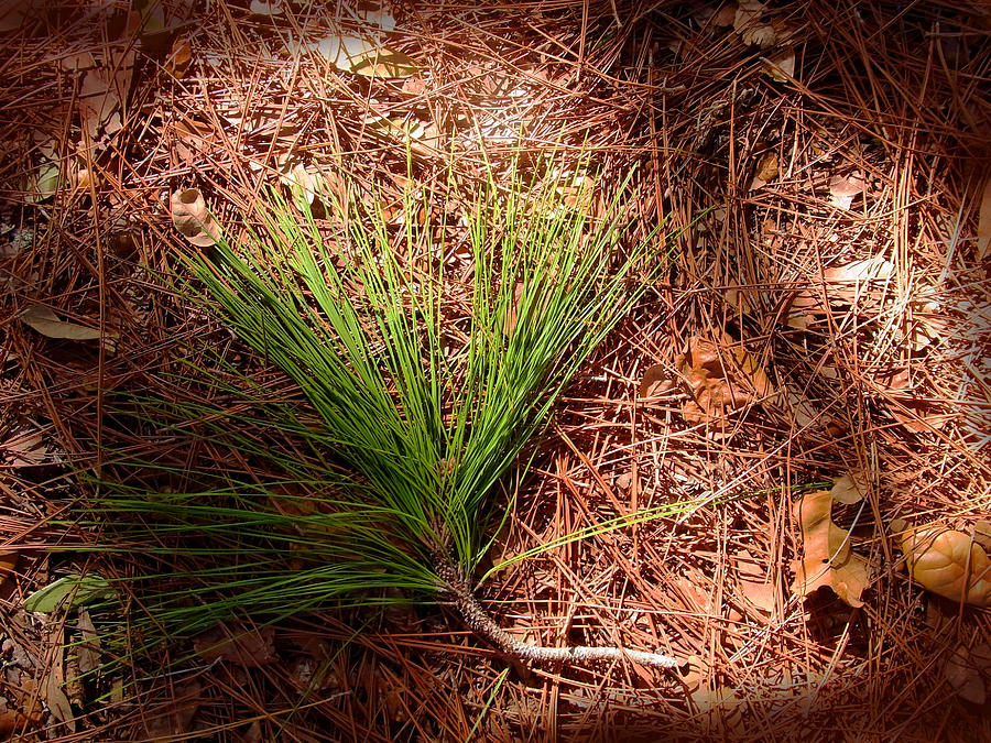 Longleaf Pine Needles Photograph  - Longleaf Pine Needles Fine Art Print