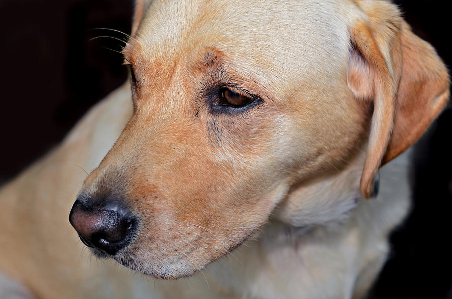 Animal; Retriever; Golden; Dog; Pet; Canine; Purebred; Mammal; Pedigree; Domestic; Breed; Cute; Background; Friend; Doggy; Fur; Beige; Labrador; Looking; Blond; Friendly; Adorable; Yellow; Sweet; Companion Photograph - Looking Back by Susan Leggett