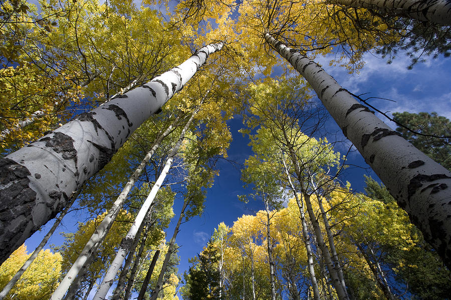 Looking Up At Autumn Aspens Photograph  - Looking Up At Autumn Aspens Fine Art Print