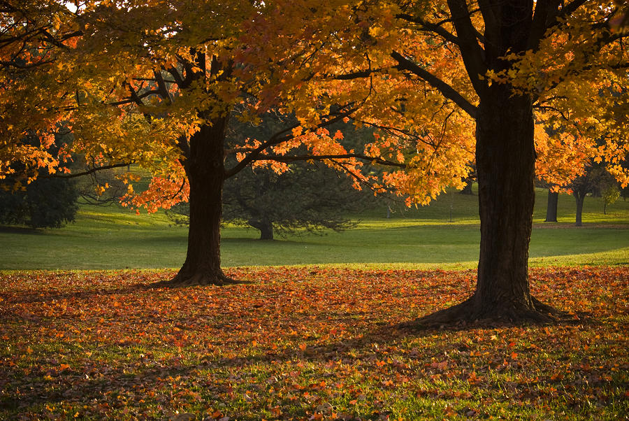 Loose Park Maple Trees Photograph