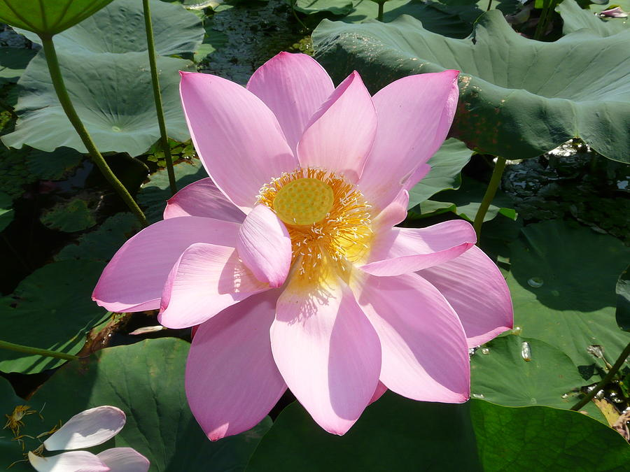 Lotus 1 Photograph