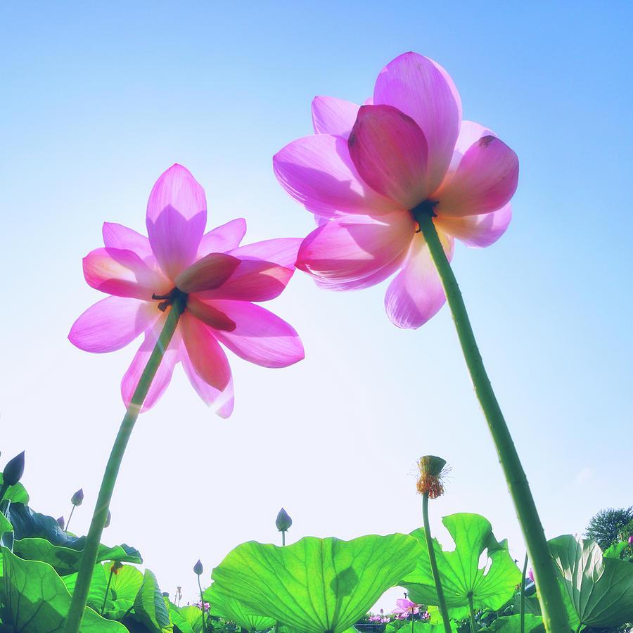 Lotus Garden Photograph