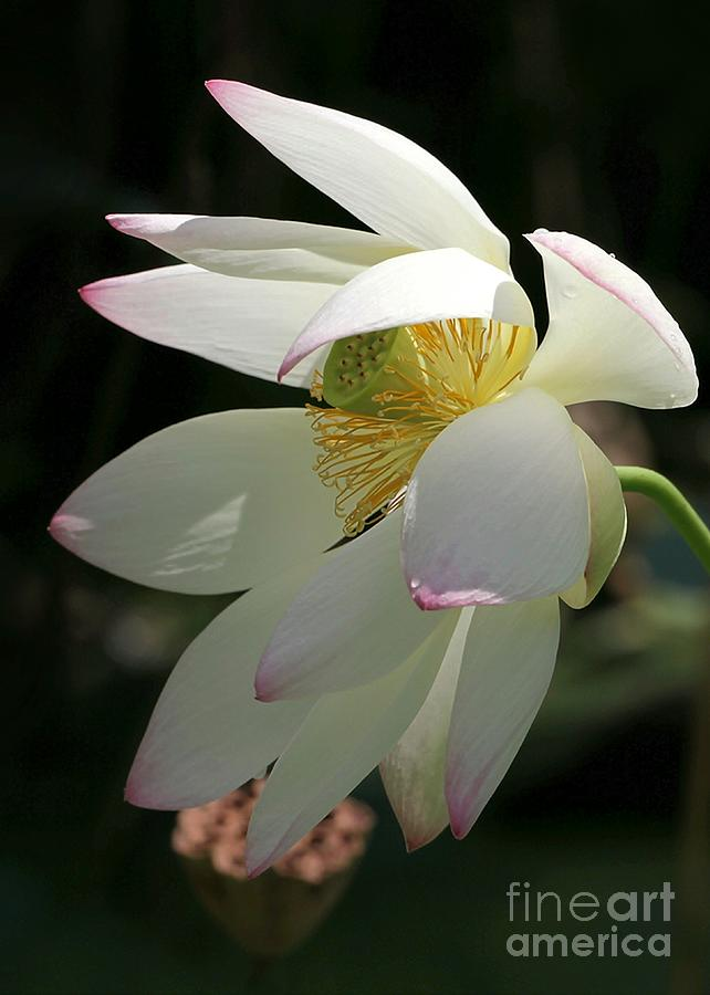 Lotus Under Cover Photograph