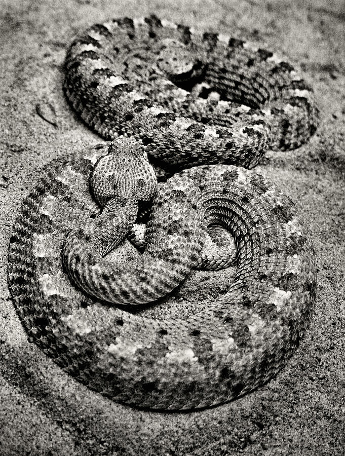 Snakes Photograph - Love At First Bite by Sally Bauer