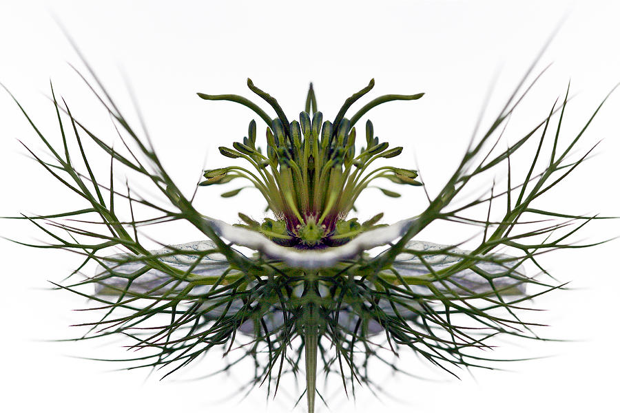Love In A Mist Photograph  - Love In A Mist Fine Art Print