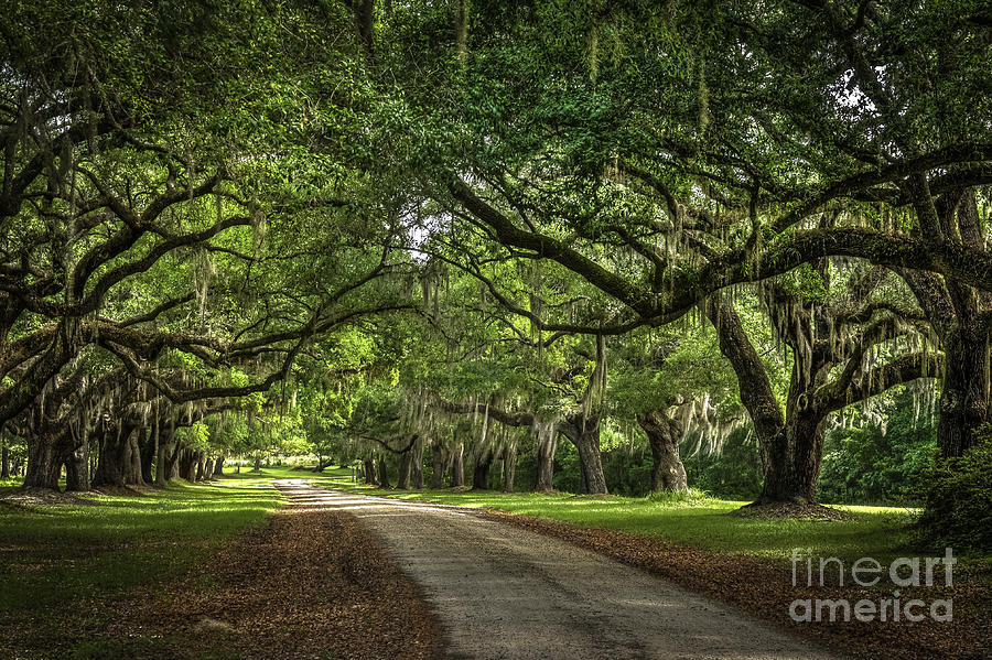 Low Country Live Oak By David Waldrop Low Country Live