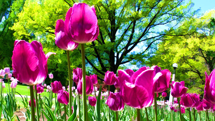 Luminous Purple Tulips In A Flower Garden And Sunny Green Trees Under A Blue Sky Photograph