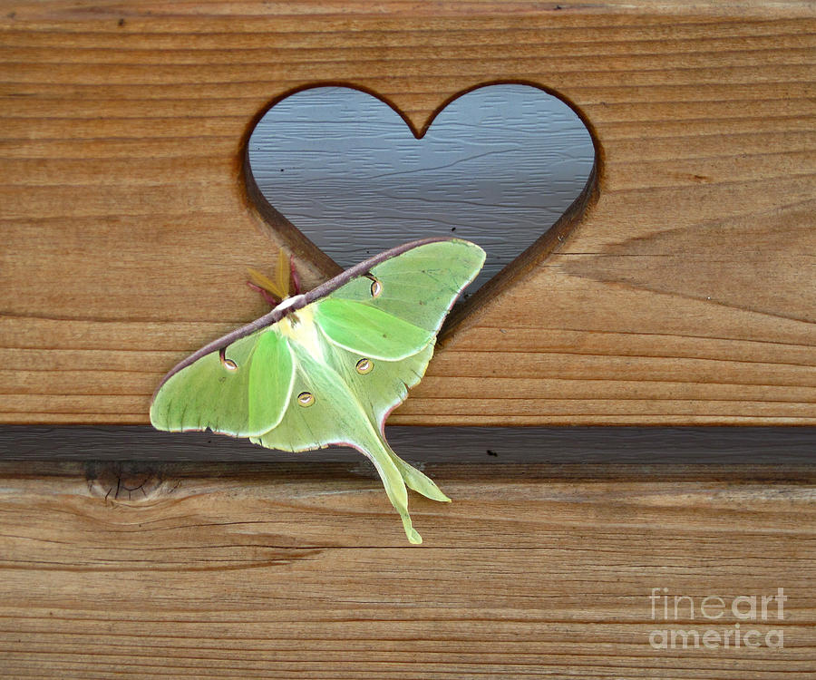 Photography Photograph - Luna Moth In Love by The Kepharts