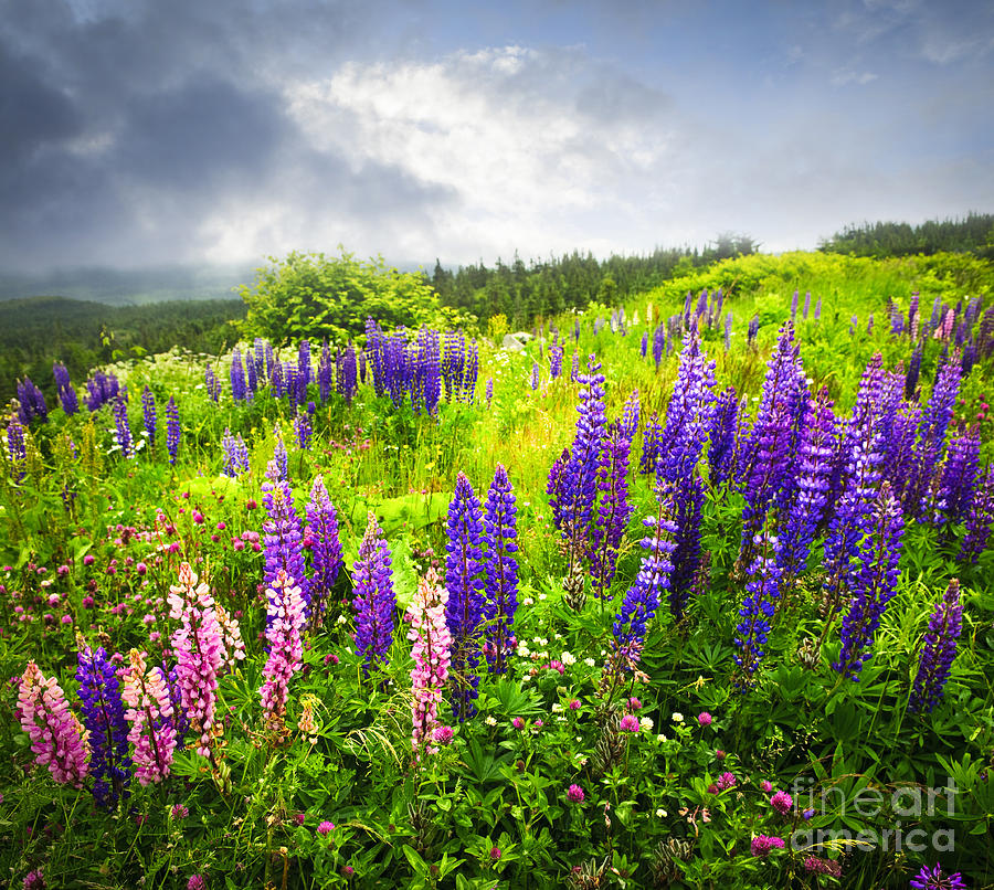 Lupin Flowers In Newfoundland Photograph