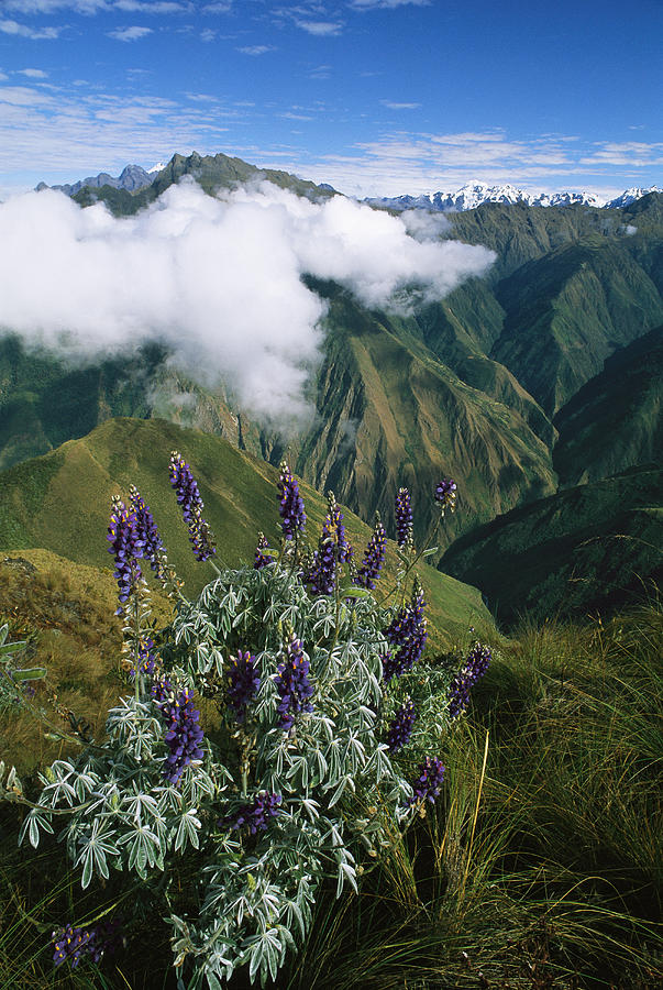 Lupine Flowers Adorn The Steep Slopes Photograph  - Lupine Flowers Adorn The Steep Slopes Fine Art Print