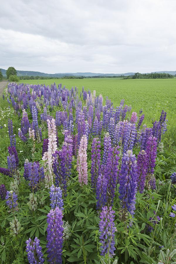 Lupines In A Field With Mountains In Photograph By Susan