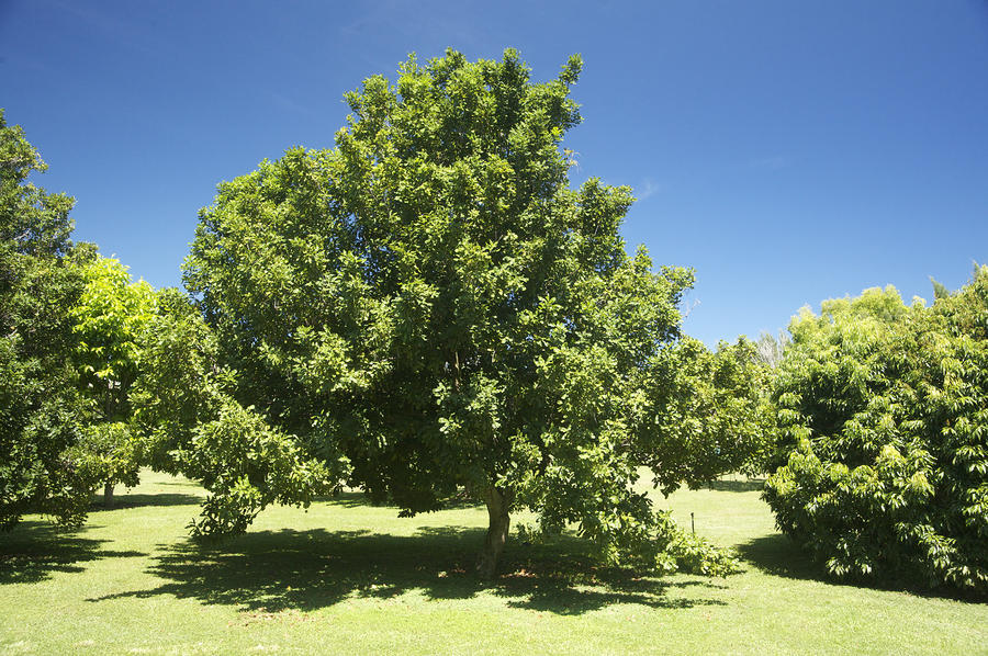 Macadamia Nut Tree Photograph