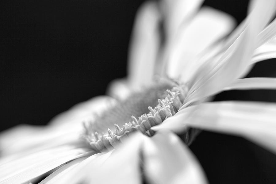 Macro Daisy Flower Black And White Photograph