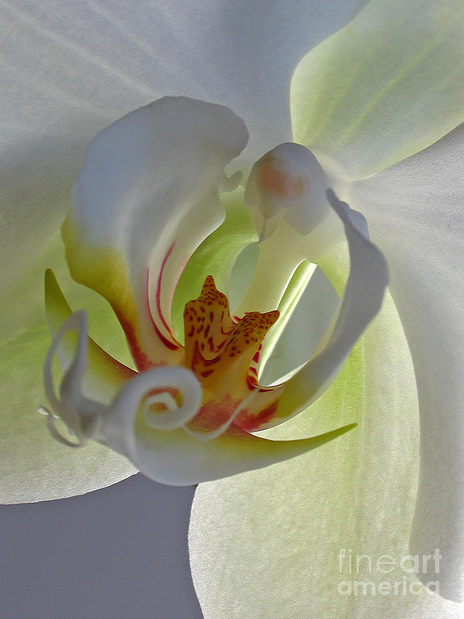 Macro Photograph Of An Orchid  Photograph  - Macro Photograph Of An Orchid  Fine Art Print