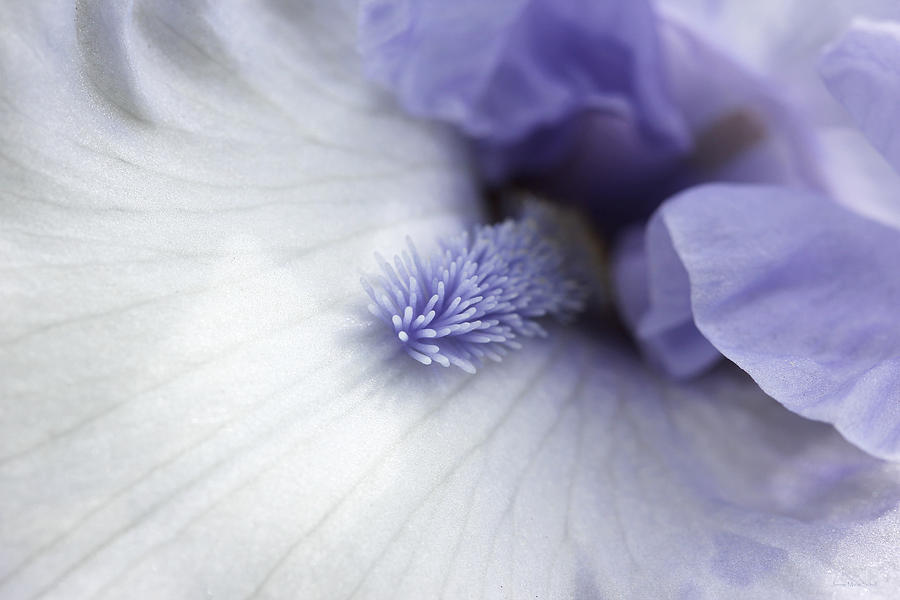Macro Purple And White Iris Flower Photograph