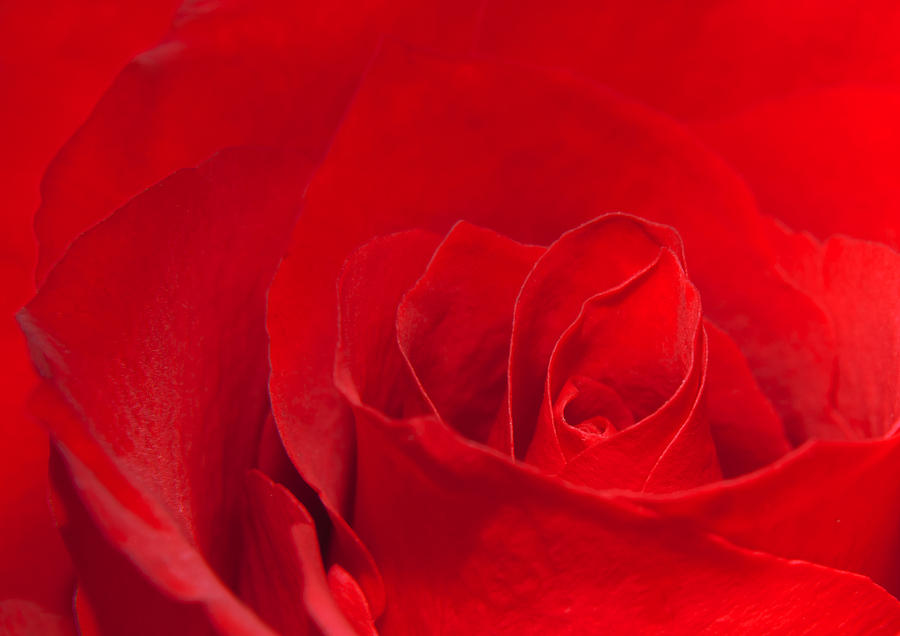 Macro Red Rose Photograph  - Macro Red Rose Fine Art Print