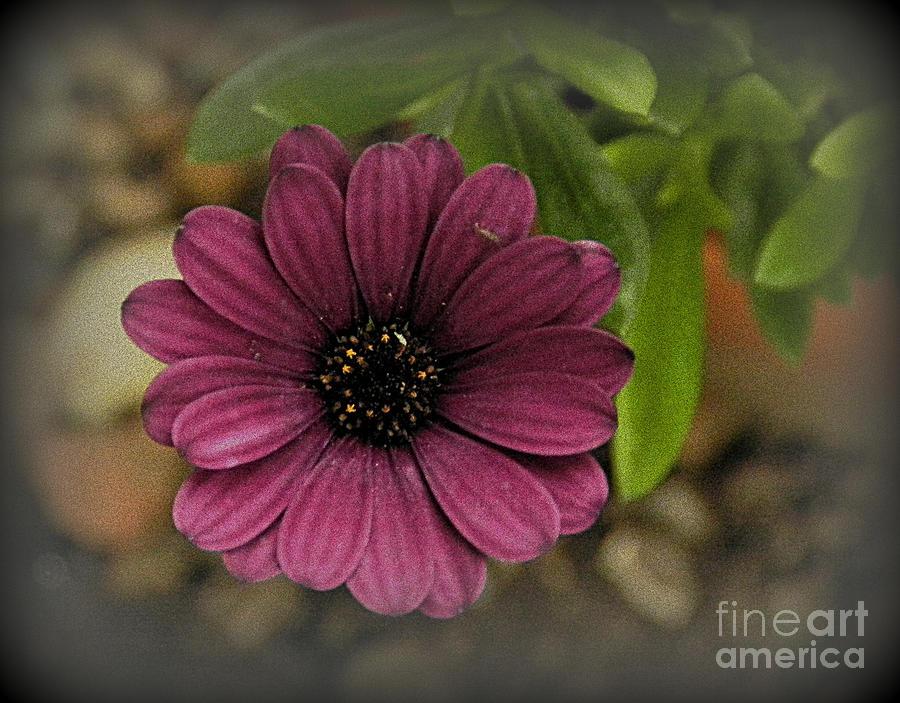 Magenta Bloom Photograph