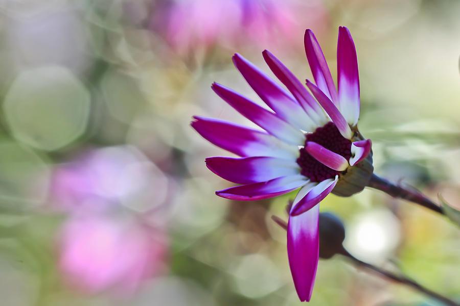 Flower Photograph - Magenta by Heidi Smith