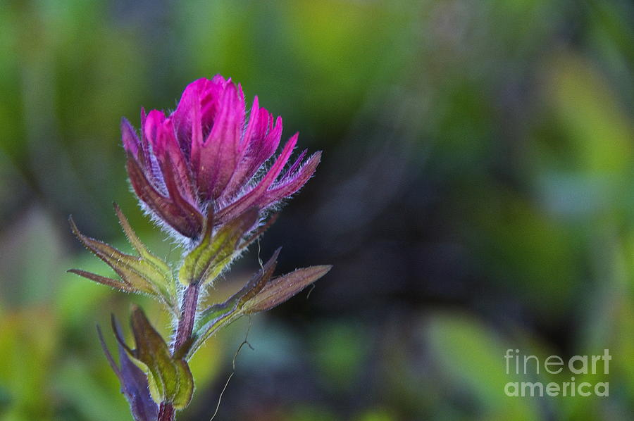 Magenta Paintbrush Photograph  - Magenta Paintbrush Fine Art Print