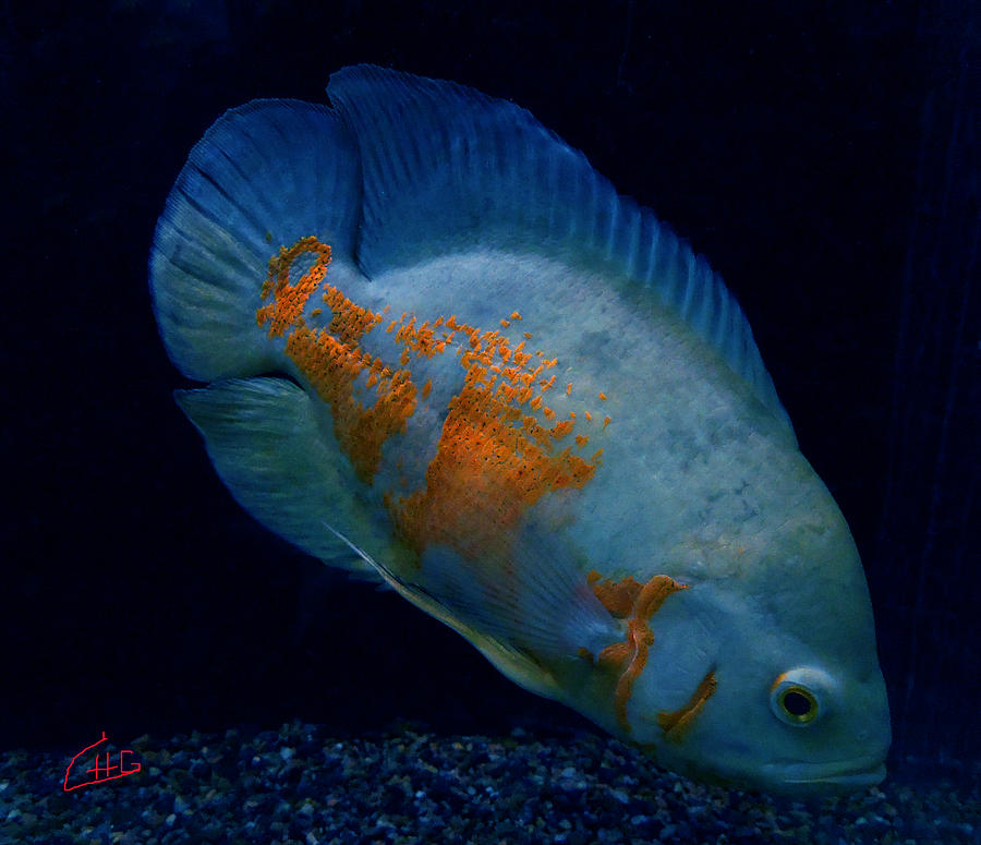 Ccolette Photograph - Magic Fish Name Oscar  by Colette V Hera  Guggenheim