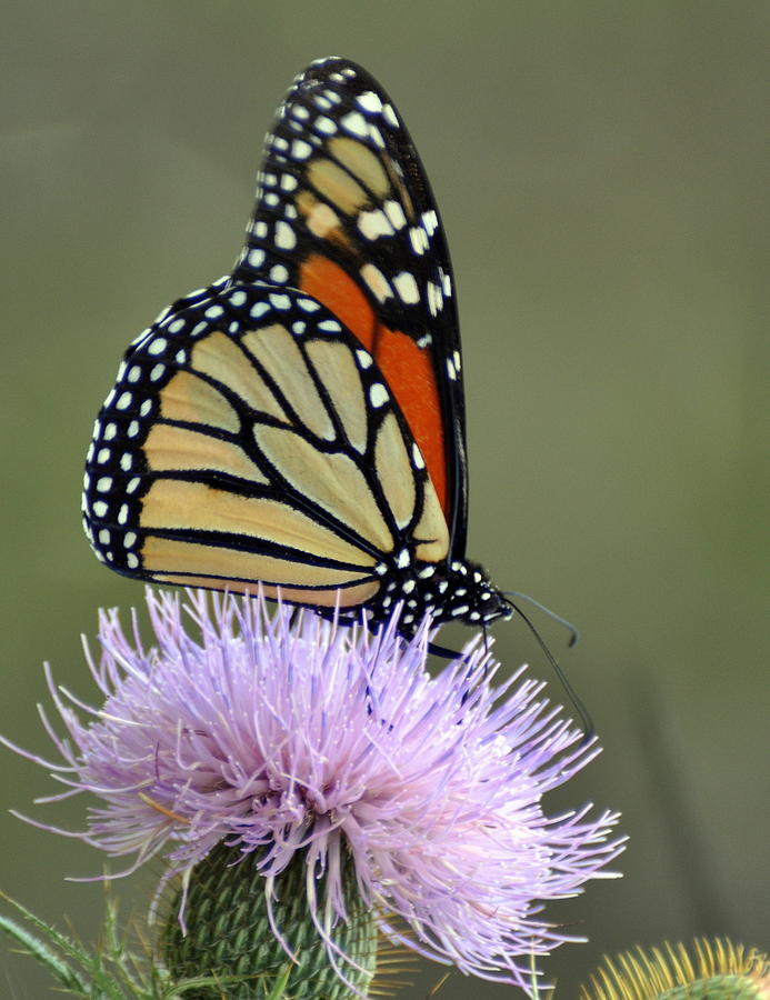 Magnificient Monarch Photograph  - Magnificient Monarch Fine Art Print