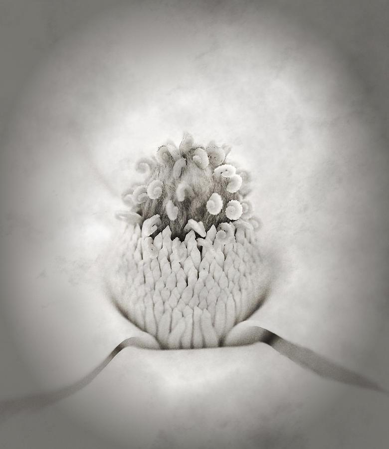 Magnolia Blossom Photograph - Magnolia 1 by Rich Franco