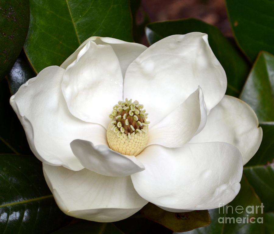 Magnolia Art Magnolia-2012 fine art