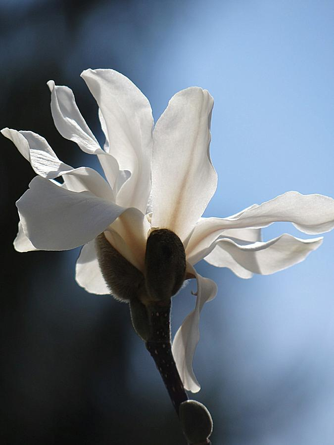 Magnolia And Blue Sky Photograph  - Magnolia And Blue Sky Fine Art Print