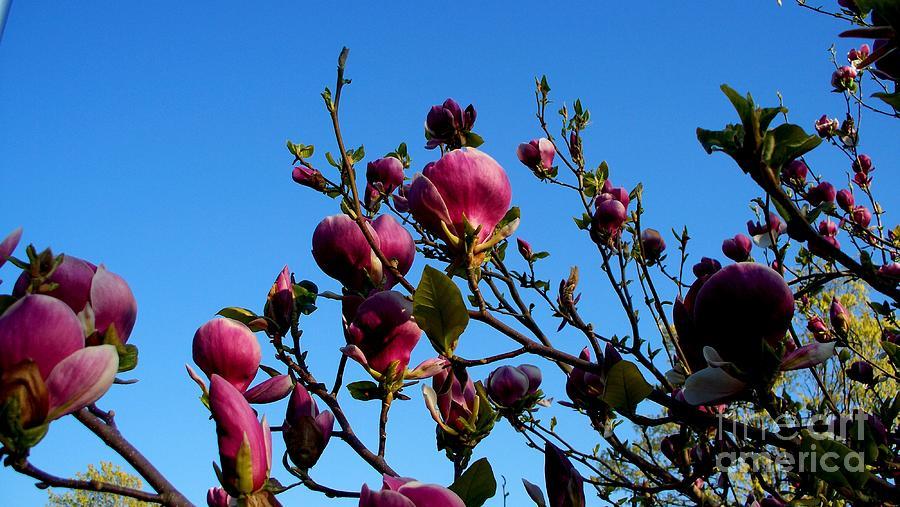 Magnolia Blloming Photograph