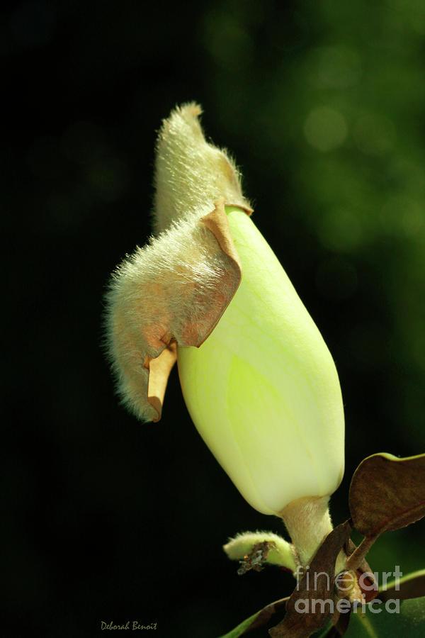 Magnolia Bud Photograph