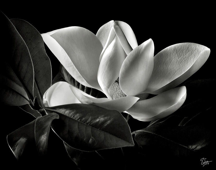 Magnolia Flower Black And White Black and white flowers art