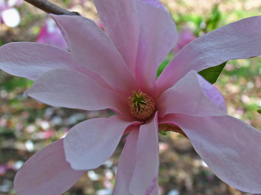 Magnolia Photograph  - Magnolia Fine Art Print