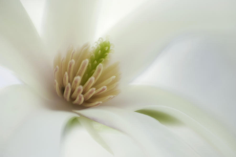 Flower Photograph - Magnolia by Silke Magino