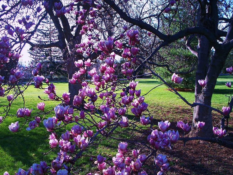 Magnolia Tree Gettysburg Pa by Eric Schiabor
