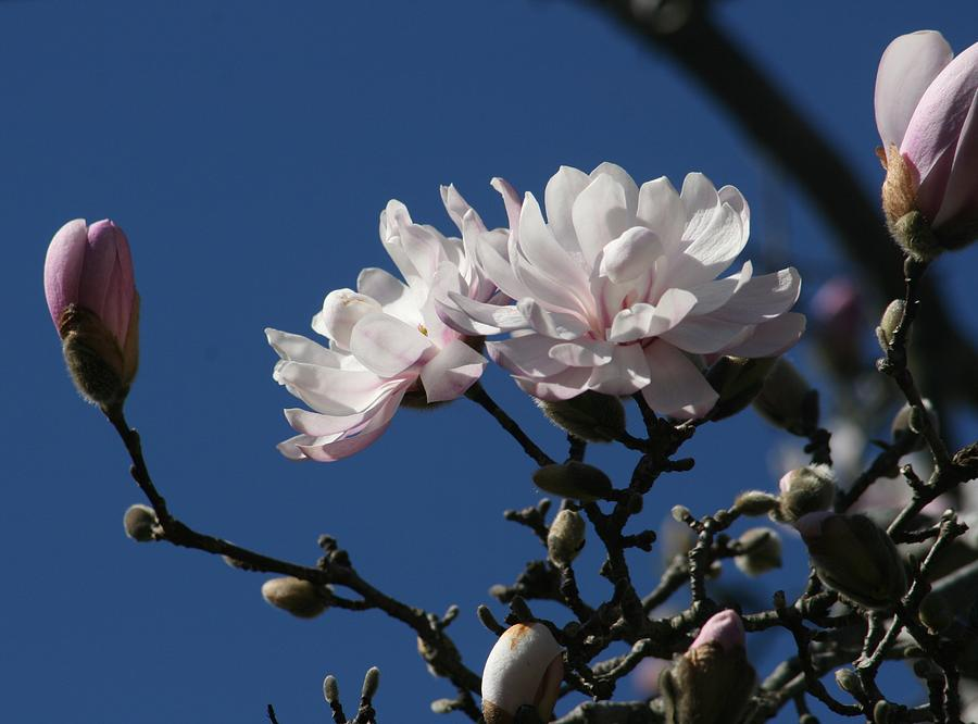Magnolia World Of Beauty Photograph  - Magnolia World Of Beauty Fine Art Print