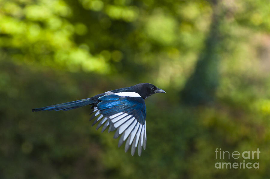 Britain Photograph - Magpie by Andrew  Michael