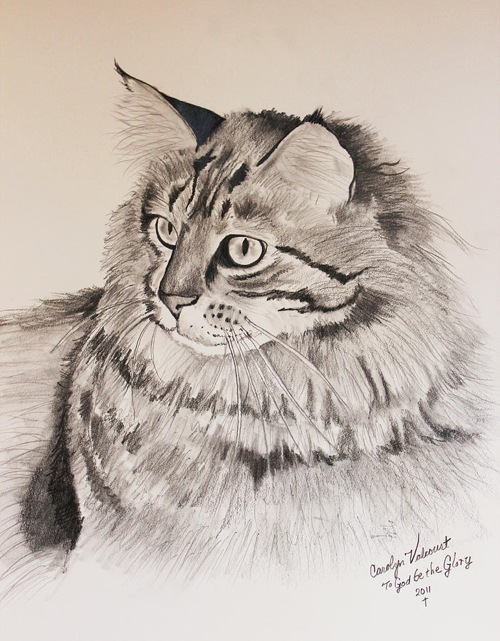 Maine Coon Cat Dusty Drawing  - Maine Coon Cat Dusty Fine Art Print
